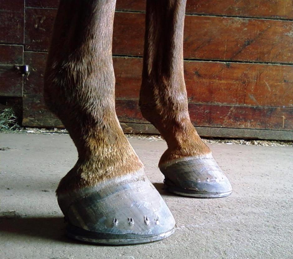 Saddlebred Hoof